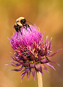 A macro shot of a bumblebee on a milk thistle plant