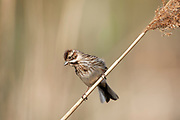 Female reed bunting on a reed