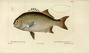 Dipterodon from Histoire naturelle des poissons (Natural History of Fish) is a 22-volume treatment of ichthyology published in 1828-1849 by the French savant Georges Cuvier (1769-1832) and his student and successor Achille Valenciennes (1794-1865).