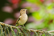 Female chaffinch perched on the branch of a pine tree near a feeder.