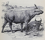Short-Horned buffalo, Congo Variety From the book ' Royal Natural History ' Volume 2 Edited by Richard Lydekker, Published in London by Frederick Warne & Co in 1893-1894