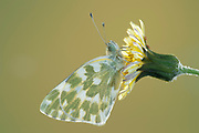 Bath White Butterfly, Pontia daplidice, South West Europe & North Africa, side view of wings on flower, occurs in the Palearctic region. It is common in central and southern Europe, migrating northwards every summer, often reaching southern Scandinavia and sometimes southern England.