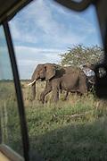 Nature photograph of a group of two African elephants (Loxodonta africana) visible behind the safari car window, Serengeti National Park, Tanzania