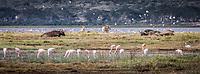 Flamingo on Lake Nakuru, Kenya.