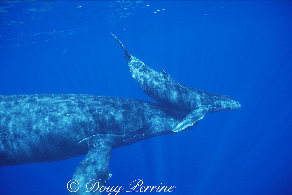 humpback whale and calf, Megaptera novaeangliae ( Endangered Species ) Hawaii Humpback Whale National Marine Sanctuary Maui, Hawaii, ( Central Pacific Ocean )<br /> Caption must contain notice that photo was taken NMFS research permit #633