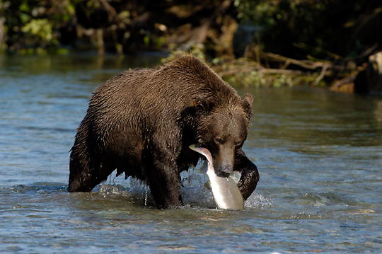 Alaskan Brown Bear (Ursus middendorffi) Adult in river catches salmon to feed on, fish in mouth. Katmai National Park. Alaska.