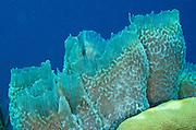 Azure Vase Sponge (Callyspongia Plicifera)<br /> BONAIRE, Netherlands Antilles, Caribbean<br /> HABITAT & DISTRIBUTION: SCoral reefs and walls.<br /> Florida, Bahamas & Caribbean.