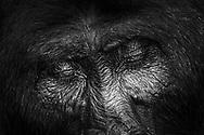 Grossaufnahme eines Silberrückens des Östlichen Flachlandgorillas (Gorilla beringei graueri), Kahuzi-Biega Nationalpark, Süd-Kivu, Demokratische Republik Kongo<br /> <br /> Close-up of a silverback of the Eastern Lowland Gorillas (Gorilla beringei graueri), Kahuzi-Biega National Park, South Kivu, Democratic Republic of the Congo