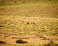 Andean Condor along the road while traveling from Estancia Lazo to Hosteria Lago Grey. Torres del Paine National Park, Chile. Image taken with a Nikon D3s camera and 70-300 mm VR lens (ISO 200, 300 mm, f/8, 1/320 sec).