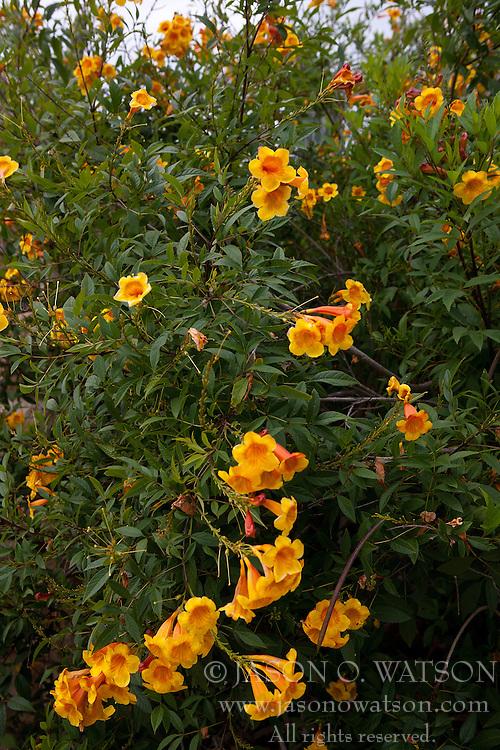 Sunrise yellow bells / Trumpet-vine (Tecoma stans), Los Angeles County Arboretum and Botanic Garden, Arcadia, California, United States of America