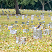 A robin contemplates the day from atop a headstone in Fredericksburg's National Cemetery.