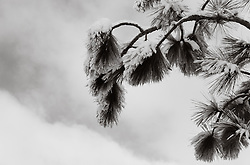 snow on a pine tree branch against the sky