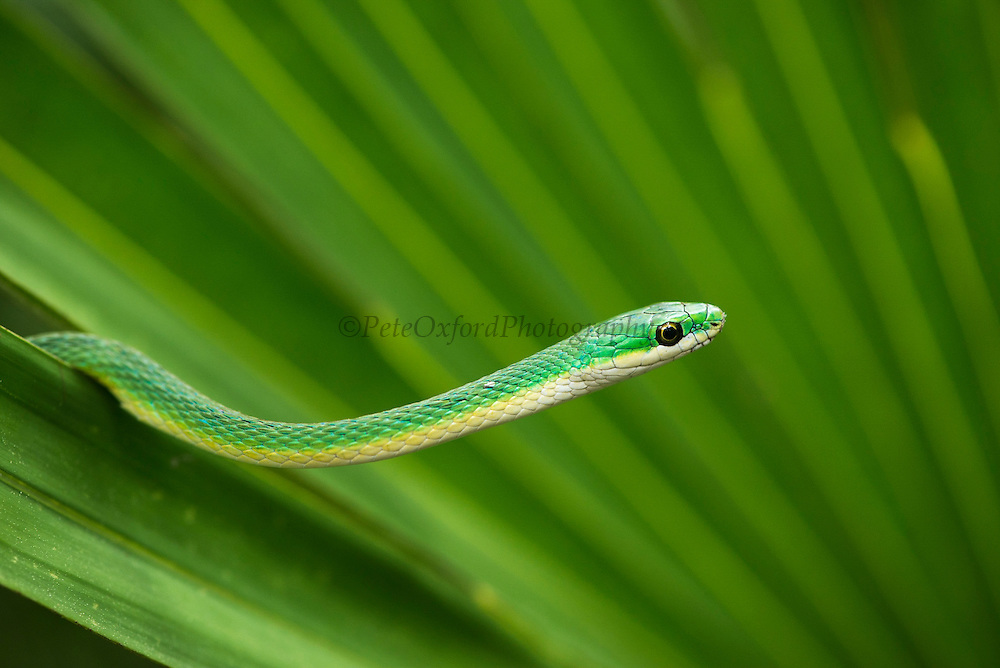 Rough Green Snake (Opheodrys aestivus)<br /> Little St Simon's Island, Barrier Islands, Georgia<br /> USA<br /> Endemic to the USA<br /> HABITAT & RANGE: Covered vegetation with good camouflage often near water.  South Eastern USA