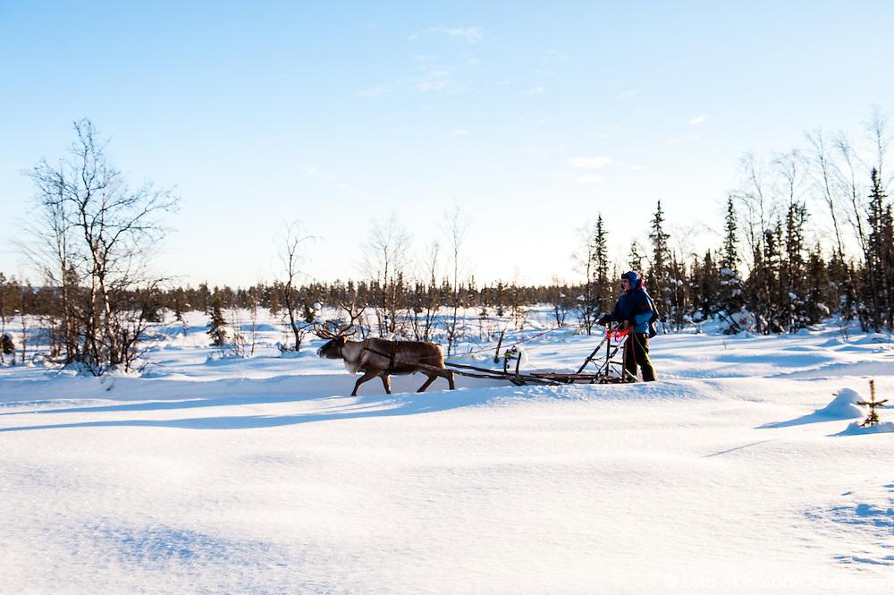 Reindeer, sledding, and Sami culture