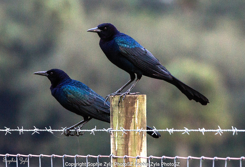 Boat-tailed Grackles ready for action