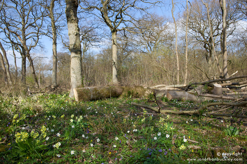 Wildflowers growing in a coppiced clearing in Hayley Wood
