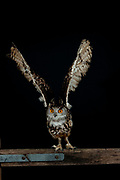 European Eagle Owl, Bubo bubo, KENT UK, flying away from fence post, taking off, high speed photographic technique, natural, wings open, on of the worlds largest owl, nocturnal, Eurasian