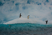 Adele penguins jump from an ice berg in the Weddell Sea, Antarctic, on February 4, 2020.