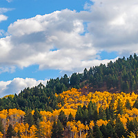 Fall-colored aspens glow amid a douglas fir forest in the Gallatin Range near Bozeman, Montana.