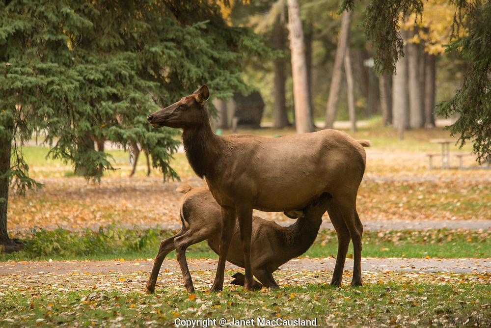 A yearling Elk, or Wapiti,  nurses on his mother on bended knees in the Saskatchewan fall. It is the rut, and if she conceives, she will rebuff him before spring.