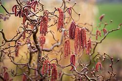 Contorted hazel catkins - Corylus avellana 'Red Majestic'