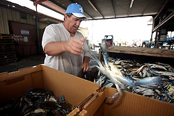 01 June 2010. New Orleans, Louisiana, USA.  <br /> Walter Gislair, a trawler man all his life sorts crabs at Dean Blanchard Seafood Inc in Chalmette.<br /> Photo; Charlie Varley/varleypix.com
