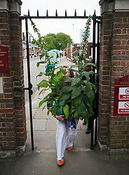 © London News Pictures. 23/05/2015. London, UK. Ellie Tinley ducks underneath a doorway with her plant purchase. Members of the public carry exhibitors' plants from the 2015 Chelsea Flower show, which ends today (Sat). The Royal Horticultural Society flagship flower show has been held at the Royal Hospital in Chelsea since 1913. Photo credit: Ben Cawthra/LNP