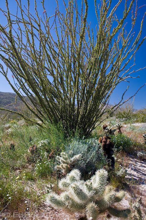 Cholla Cactus and Ocotillo tree in the Anza-Borrego Desert, California, USA
