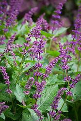 Salvia verticillata 'Purple Rain' - Whorled clary 'Purple Rain'