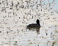 American Coot (Fulica americana). Arapaho National Wildlife Refuge, Colorado. Image taken with a Nikon D300 camera and 80-400 mm VR lens.