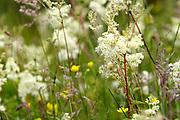 Meadowsweet, Filipendula ulmaria, in grassland by Milton Loch, Applecross, Ross-shire, Highland.