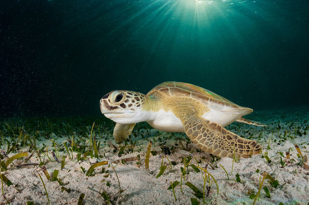Green sea turtles feed almost exclusively on a seagrass aptly named Turtle Grass