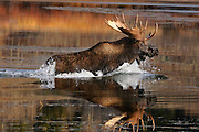 Photograph of a large bull moose crossing Oxbow Bend in Grand Teton National Park in late fall.
