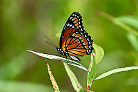 Viceroy butterfly posing on a leaf in Tallahassee, Fl.