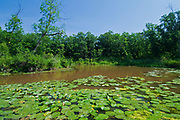Lily pads along the Seine River. Seine River Forest<br />Winnipeg<br />Manitoba<br />Canada