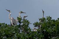 Grey heron (Ardea cinerea) in the forest of durea Domnesca National Park, Moldova
