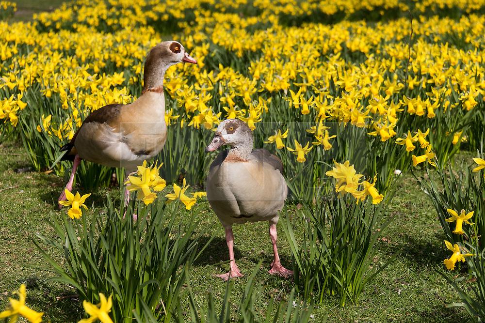 © Licensed to London News Pictures. 10/03/2015. London, UK. A pair of egyptian geese walk amongst the daffodils during sunny spring weather in St James's Park in London today. Photo credit : Vickie Flores/LNP
