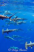 schooling female scalloped hammerhead sharks, Sphyrna lewini, off Keauhou, South Kona, Big Island, Hawaii, USA ( Central Pacific Ocean )