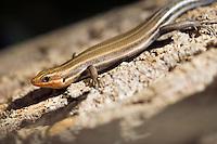 Lizard on a tree, Eumeces fasciatus five lined skink