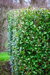 Hedge of Ligustrum ovalifolium - Privet