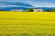 Canola field<br /> Jonquiere<br /> Quebec<br /> Canada