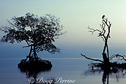 red mangrove trees, Rhizophora mangle, and egret, Key Biscayne, Florida ( Western Atlantic Ocean )