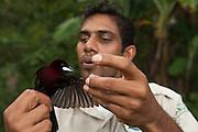 Park Ranger, Dwarka Singh mist netting Silver-beaked Tanager (Ramphocelus carbo)<br /> Iwokrama Forest Reserve<br /> GUYANA<br /> South America