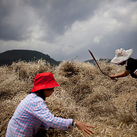 Cun Huiling, left, and Cun Liqing  harvest rapeseed in their field outside of Heshun town, Yunnan province, China.