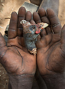 Eating a bird's head. At the Hadza camp of Senkele.