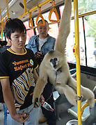 "KUNMING, CHINA - FINLAND OUT<br /> <br /> A man takes a hylobatidae named ""Le Le"" gets off a bus on in Kunming, Yunnan Province of China. Animals are taken to the bus to celebrate the opening of the Special bus line from the central city to the zoo. <br /> ©exclusivepix"
