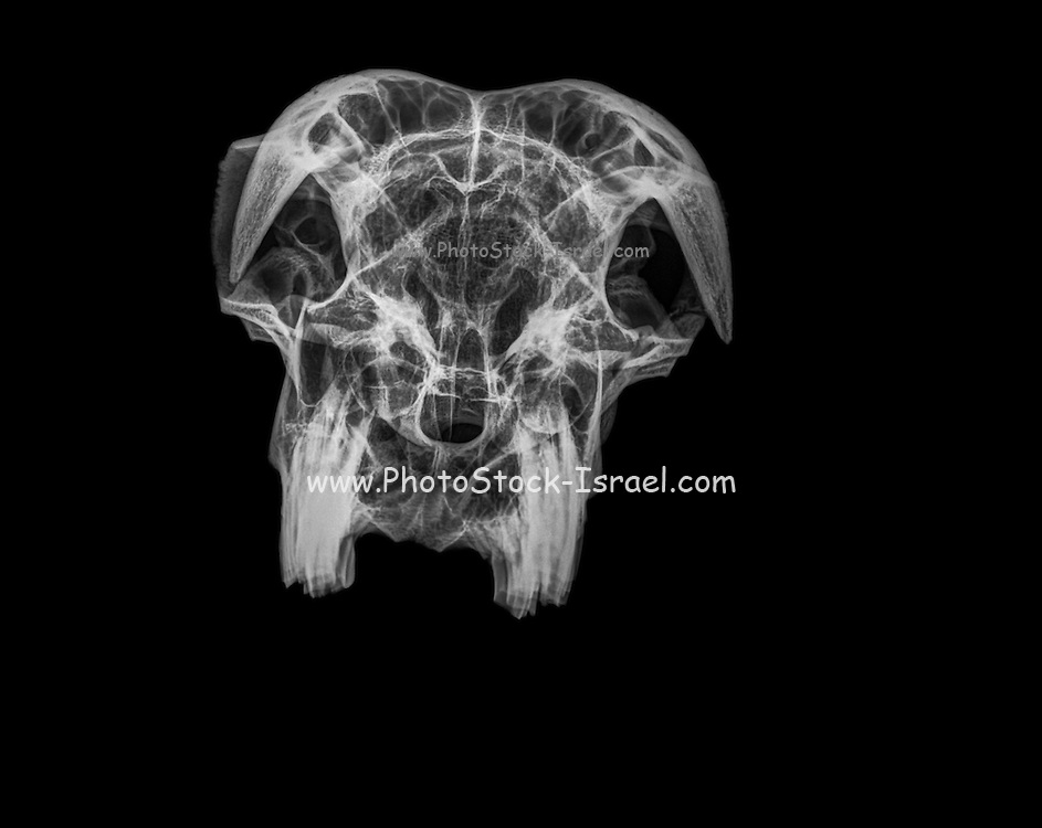 Front View X-ray of a skull of a goat on black background