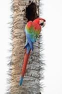 A green-winged or red-and-green macaw (Ara chloropterus) is investigating a nesting hole on a palm tree (Acrocomia aculeata) with spikes, Bonito, Brazil<br /> <br /> Ein Grünflügel oder Dunkelroter Ara untersucht eine Nisthöhle am Stamm einer stachligen Macauba-Palme, Bonito, Brasilien