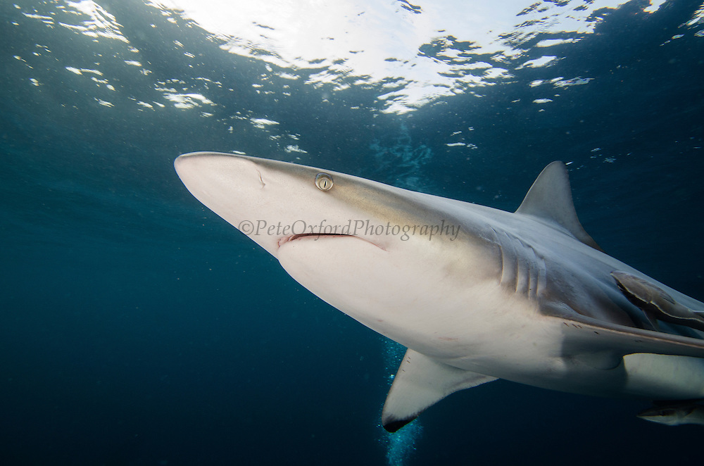 Oceanic Black-tip shark (Carcharhinus limbatus) & Remora (Remora remora)<br /> Baited shark dive<br /> Umkomaas<br /> KwaZulu Natal<br /> SOUTH AFRICA<br /> Range: Widespread in all tropical and subtropical continental waters