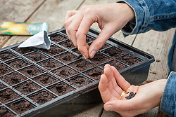 Sowing onions into module trays in a greenhouse in winter. Allium cepa